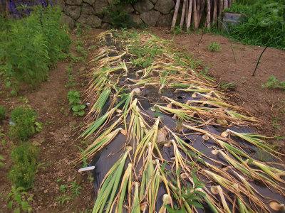 6.21タマネギ収穫1