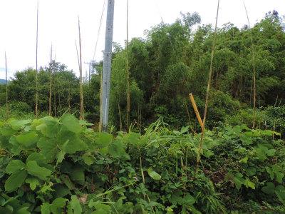 7.6進出する竹