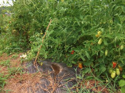 トマトのジャングル2