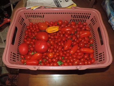 8.2収穫したトマト