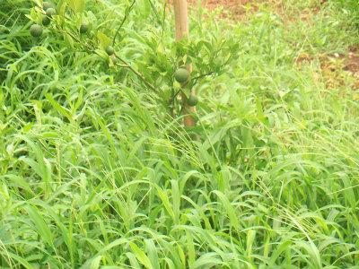 8.9草に埋もれる柑橘2