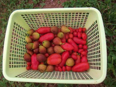 9.15トマトにイチジク