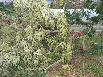 10.7栗の木が倒れる