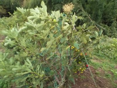 10.14台風後の果樹1