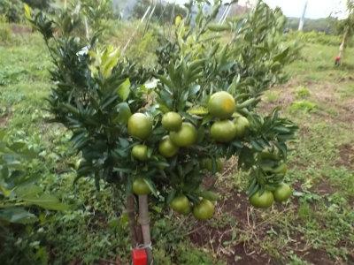 10.14台風後の果樹3