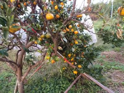 10.14台風後の果樹4