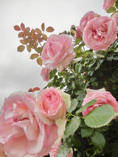 20140521_roses_00.jpg
