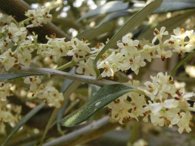 20140528_olive_flower01s.jpg