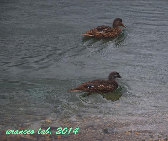 8月25日鴨の夫婦