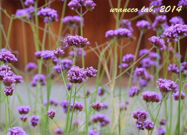 9月1日紫小花