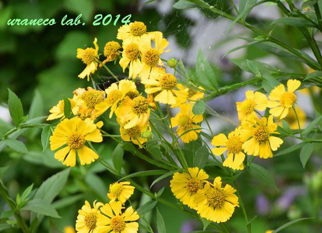 9月4日黄色い菊類