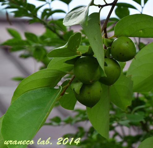 9月7日青い柿の実