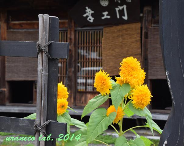 9月4日向日葵3