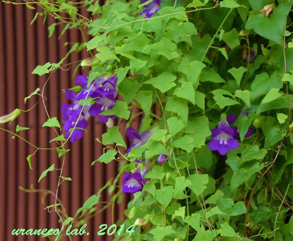 9月26日紫色の蔓花