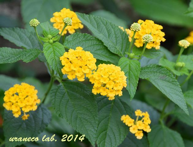 10月20日黄色いランタナ