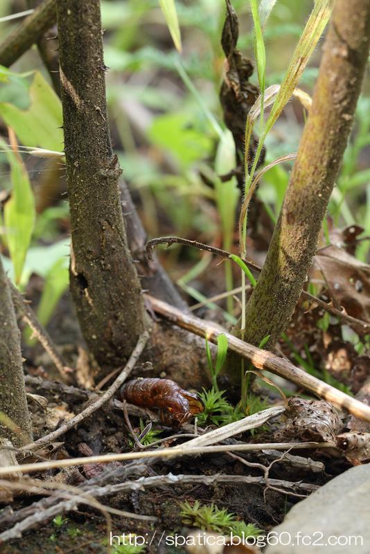 セスジスカシバ蛹殻
