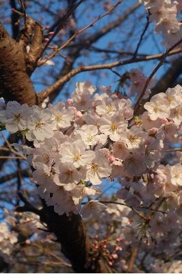 レストランの桜