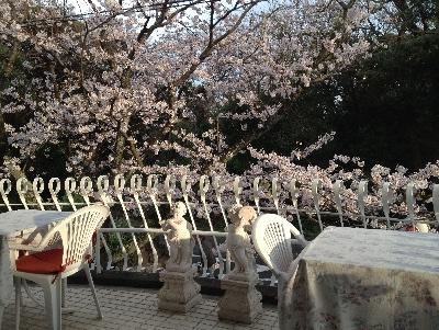 テラスと桜