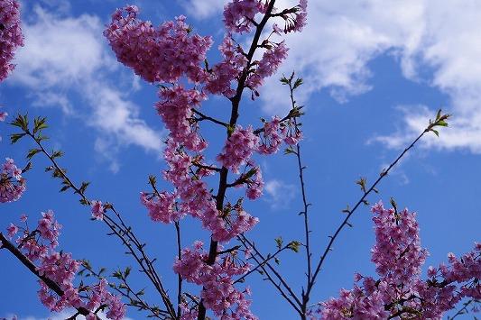 河津桜まつり 7