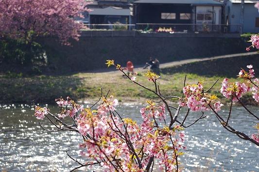 河津桜まつり 8