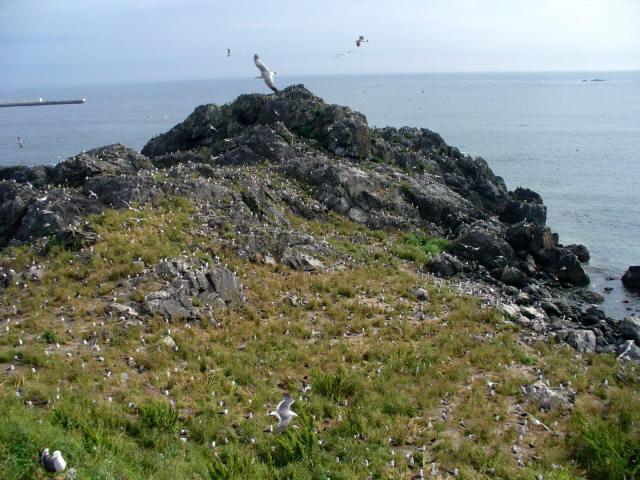 蕪島のウミネコ6