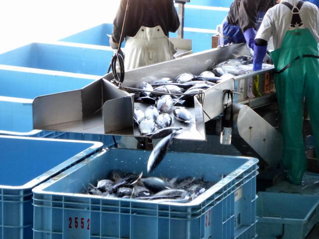 気仙沼の魚市場5