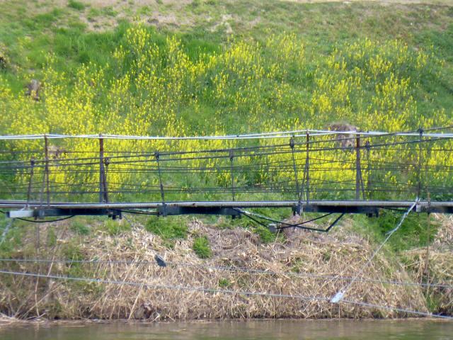 泉南CCの吊橋5