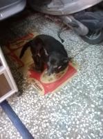 店の黒犬141015