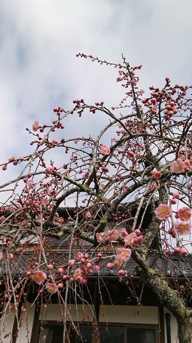 26.2.27 梅開花