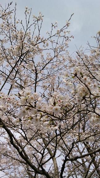 26.3.31 桜1