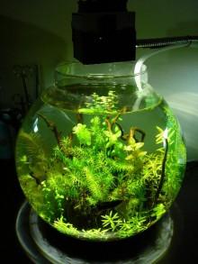 インドでアピスト-金魚鉢1