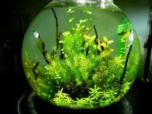 インドでアピスト-金魚鉢2