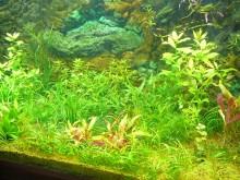 インドでアピスト-水草水槽