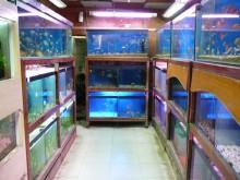 インドでアピスト-魚の販売水槽