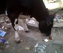 インドでアピスト