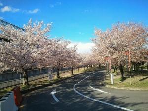 交野ドームの桜
