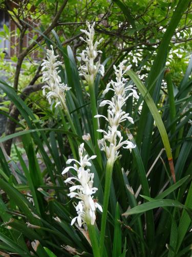 ノシランの花