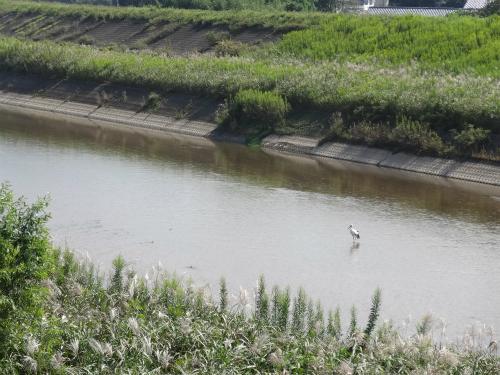 川で遊ぶコウノトリ