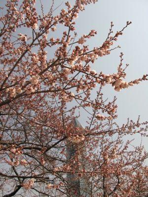 140404-桜