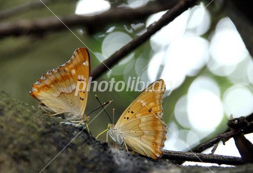 樹の上のカップル、コムラサキ