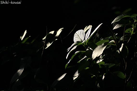 紫陽花・葉・反射光