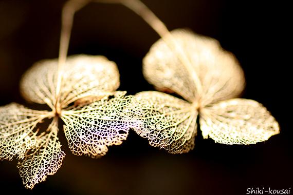 紫陽花・花跡