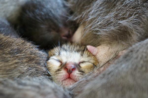 コラット母の子猫 1