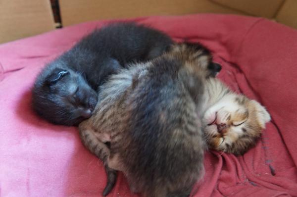 コラット母の子猫 3