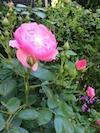庭のバラ2014