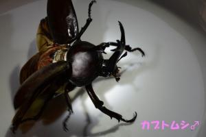 カブトムシ♂1