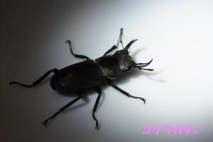 コクワガタ♂1