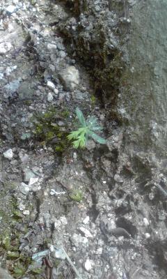 ヒノキの芽三百