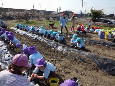 ジャガイモの植えつけ1402272