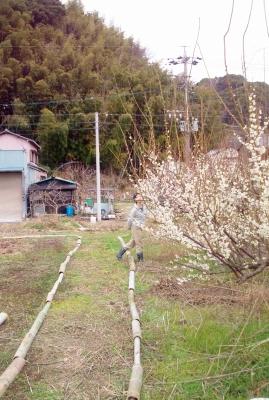こどもの畑の梅140309